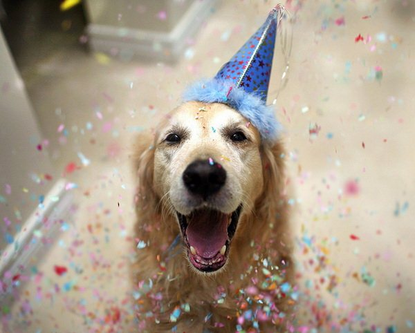 party-animal-golden-retriever